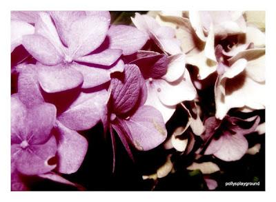 hydrangea photo