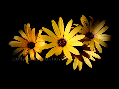 yellow daisies photo
