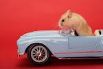 Rahul - el hamster