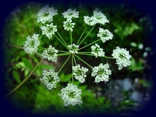 plantas toxicas cicuta conium maculatum l planta