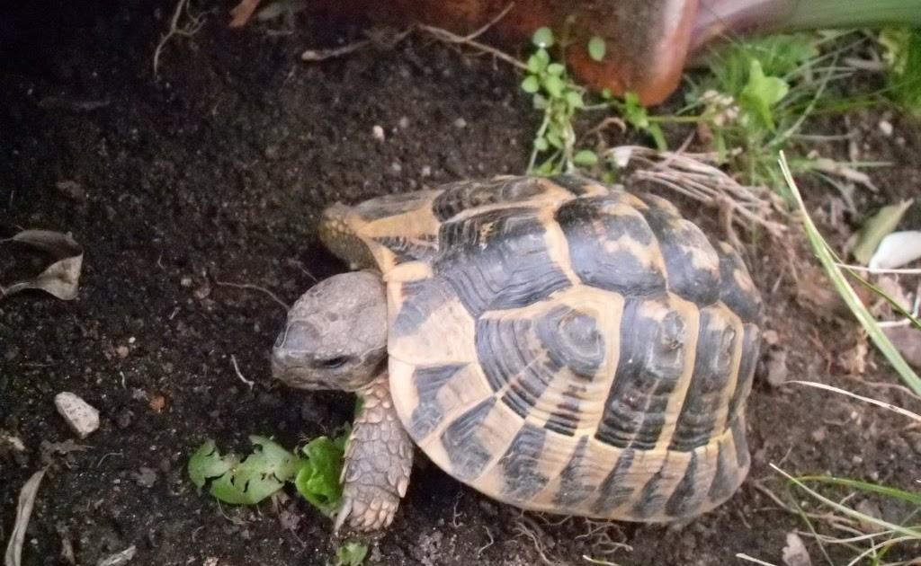 Chiarasalvanatura piccola tartaruga di terra for Stagno tartarughe