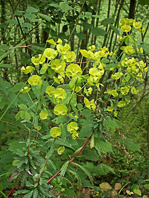 PLANTAS COBERTORAS Euphorbiaamygdaloidesred2