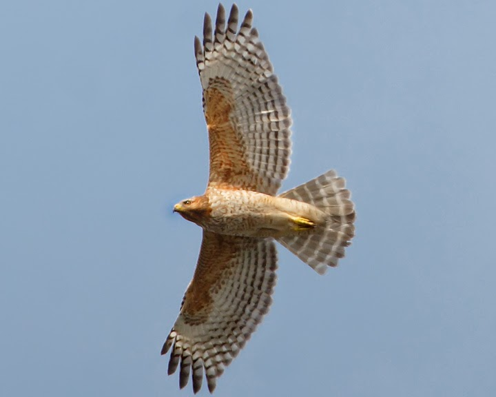 Ecobirder: Red-shouldered vs red-tailed hawk