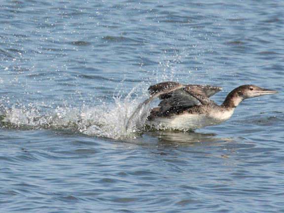 common loon in flight. house a Common Loon,