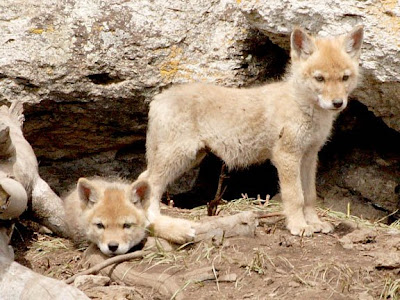 coyote pups