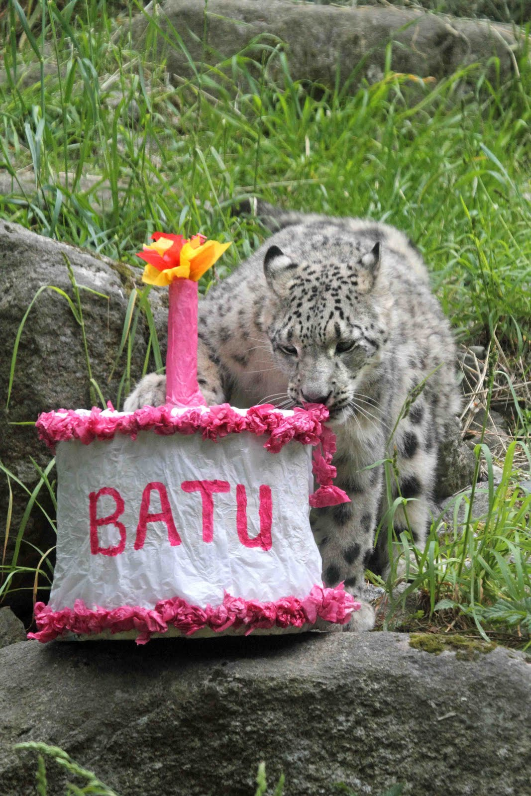 Woodland Park Zoo Blog Happy birthday Gobi and Batu