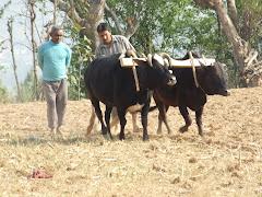 खाचिकोट,भालुखोला प्रा वि स्कुल प्रमुख शिव बहादुर छोरा नेत्र सँग जेठ महिना को मकै छ र्ने तयारी गर्दै
