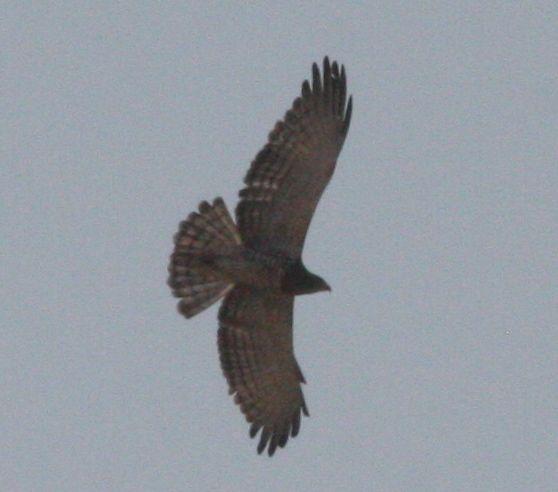 Beaudouins snake eagle - photo#17