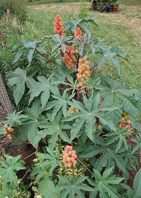 Castor bean, Ricinus communis