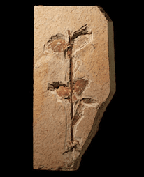 Fóssil de planta