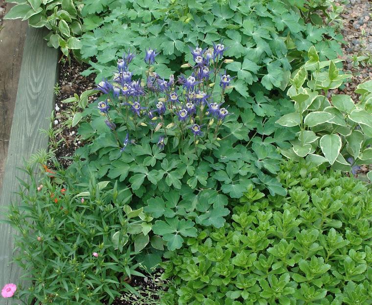 Columbine plants
