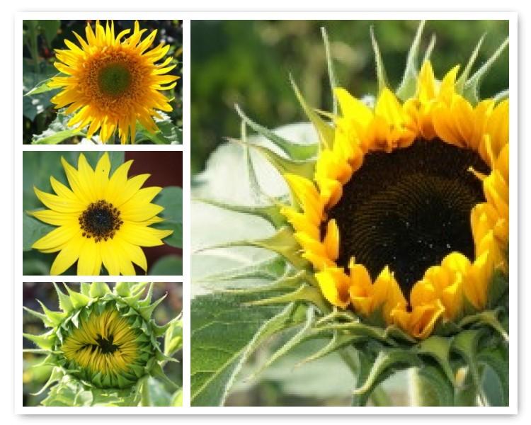 [Sunflower+Mosaic]