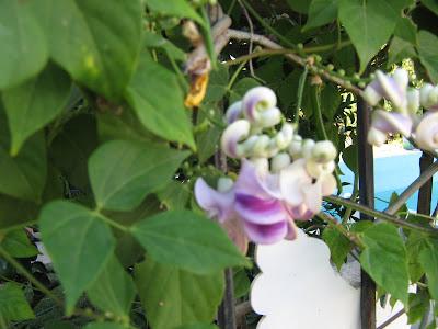 selluka çiçeği