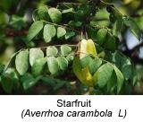 starfruit to cure influenza