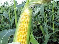Cosecha de maíz transgénico
