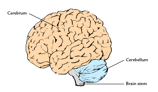 different parts of the brain pdf