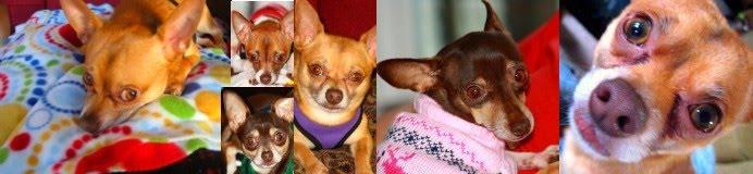 Chihuahua Quarterly (CQ)