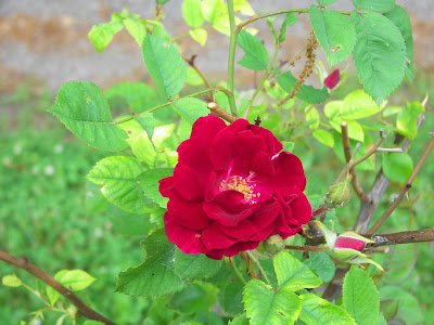 red rose in a rose bush