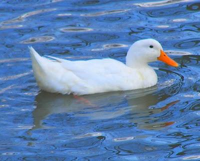 pekin+duck+2.jpg