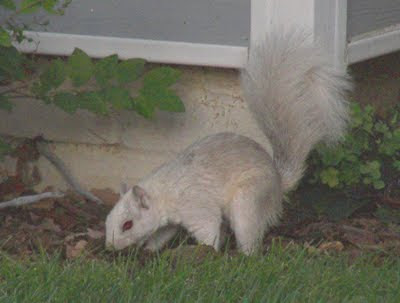 Picture of a White Squirrel
