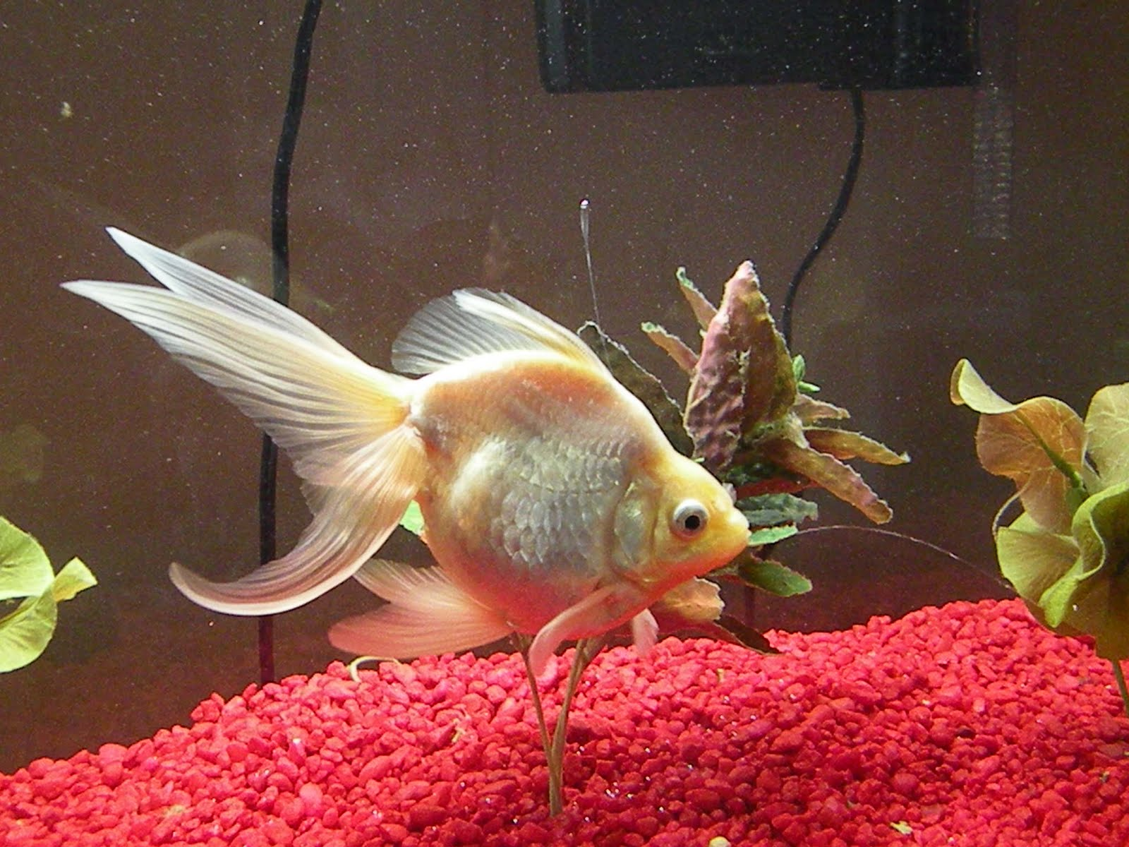 red fantail goldfish - HD1600×1200