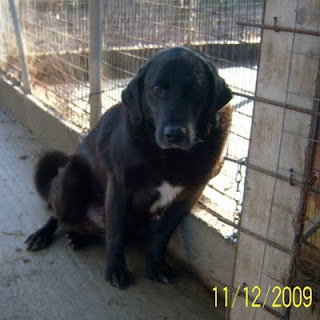 Adotta Un Cane Anziano Nero Bellissimo Simil Labrador Anzianotto