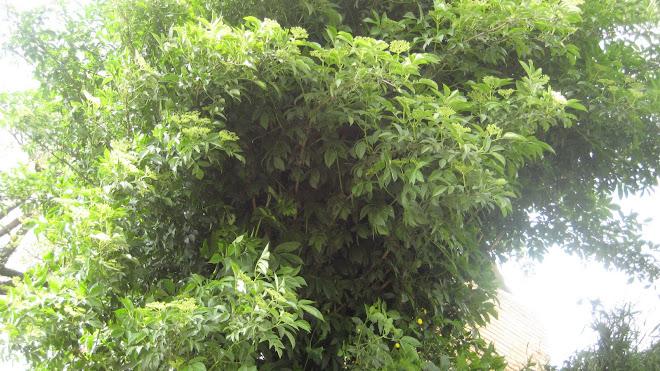 El soguer, arbre d'interès remeier
