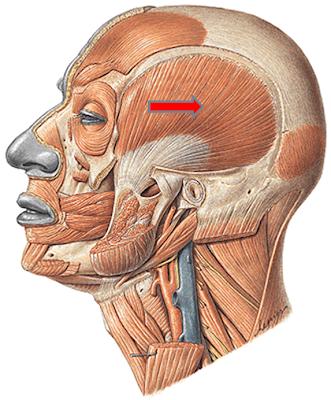 Músculos del cráneo y cara. - ANATOMIA MIMI