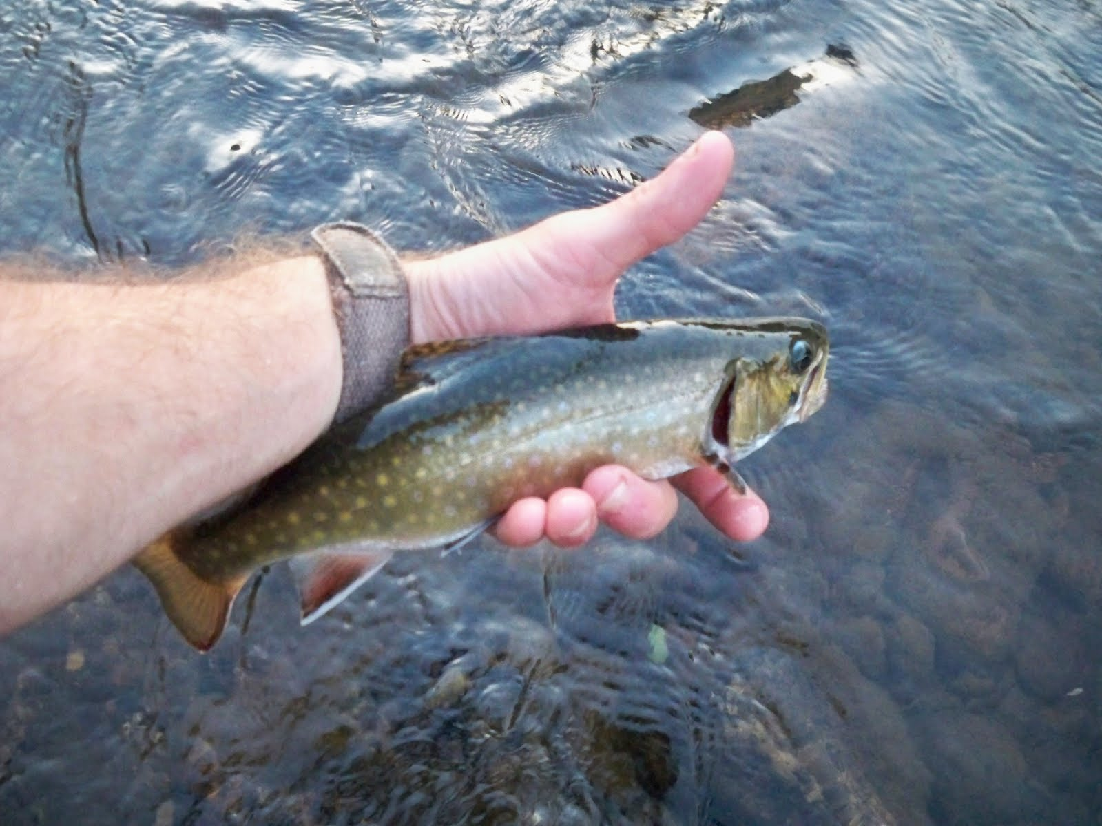 Grobe anglers and adventures brookie for Youghiogheny river fishing