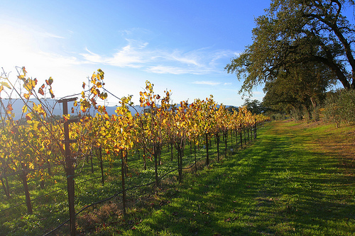 Grapevines in Autumn by John-Morgan