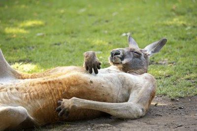 Kangaroo%2BOD.jpg