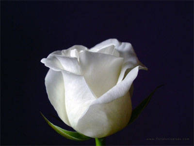 A white rose symbolizes innocence and purity. When combined with red roses
