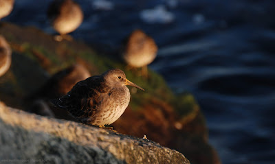 Purple Sandpipers. Click to enlarge.(c)2008 SmellsLikeGrape.