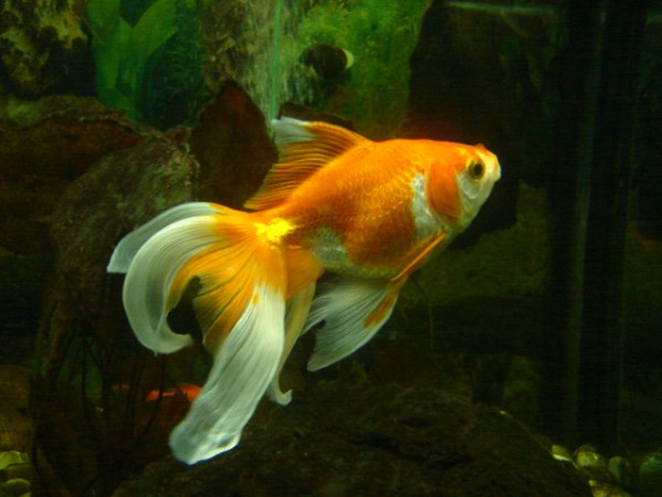 Pets Dwelling: Fish as Pets