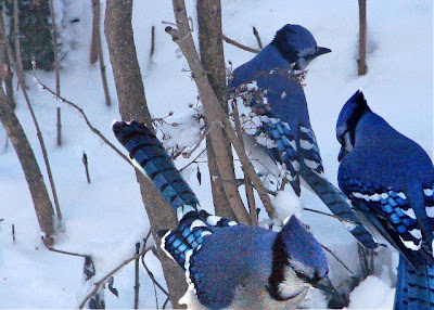 cute pictures of Blue Jay bird in snow