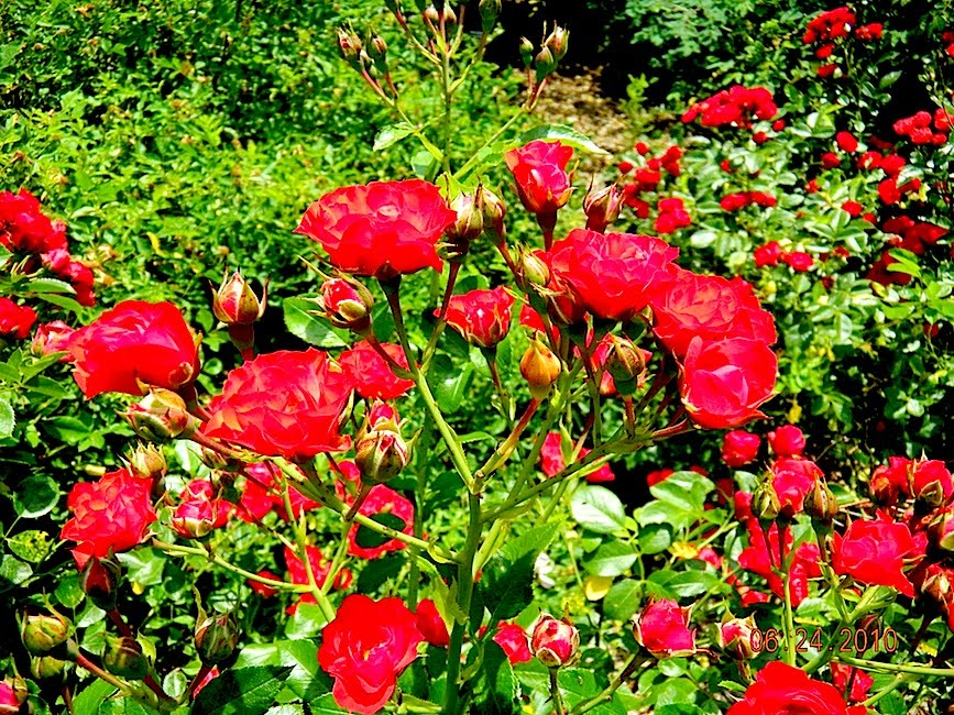 roses for english gardens  rose  u0026quot scarlet meidiland u0026quot