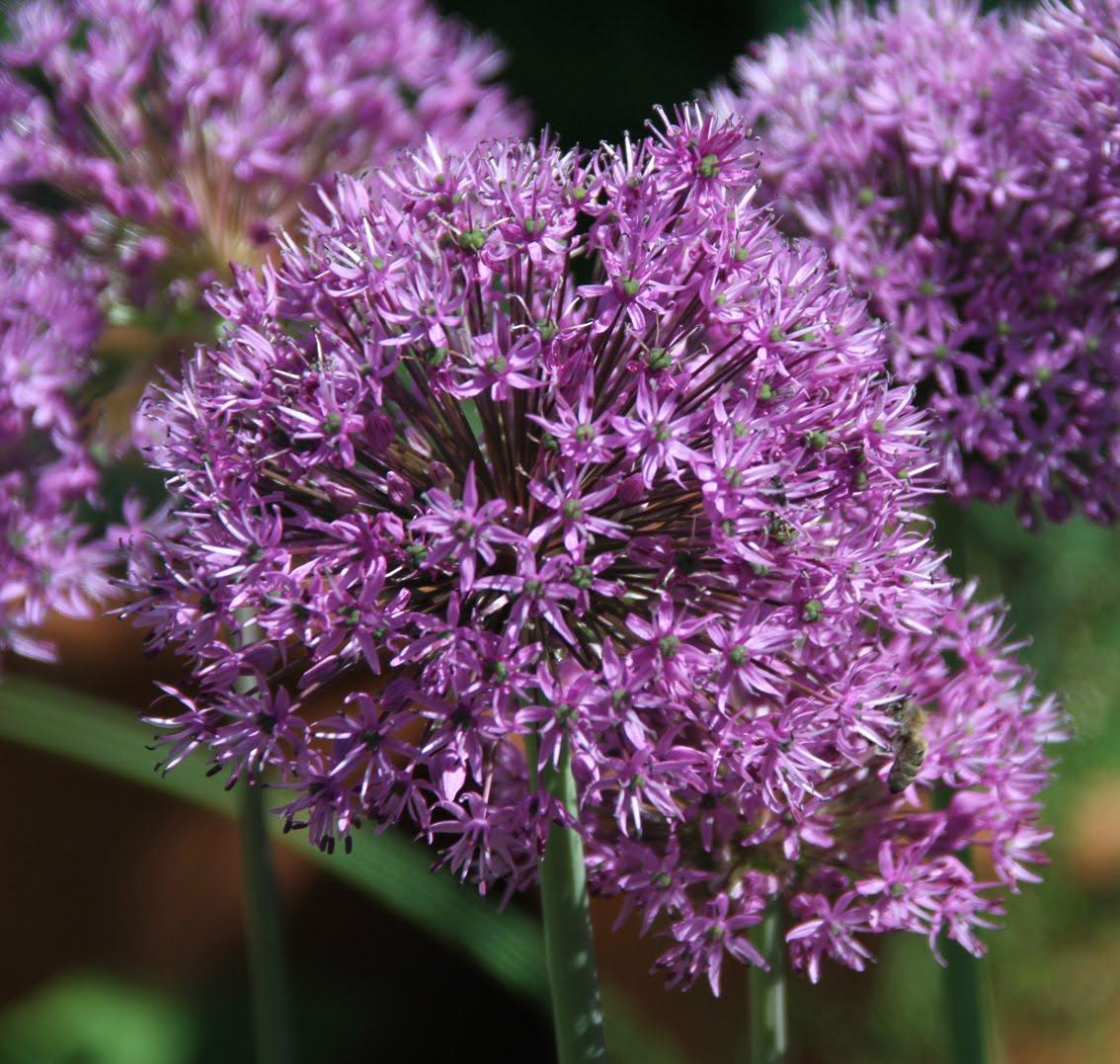 grapher s Garden SENSATIONAL PURPLE