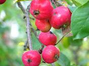 Vilda äpplen