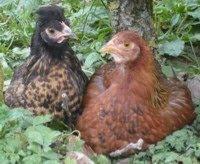 gekakel uit de kippenren...