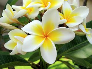 Bunga Jepun