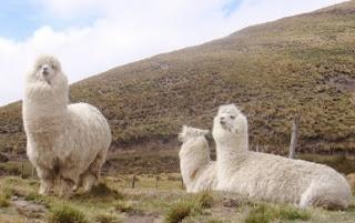 La alpaca, primo cercano de la llama
