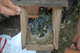 vaya esfuerzo el de la pareja de carboneros comunes de esta caseta (10 pollos!!!)