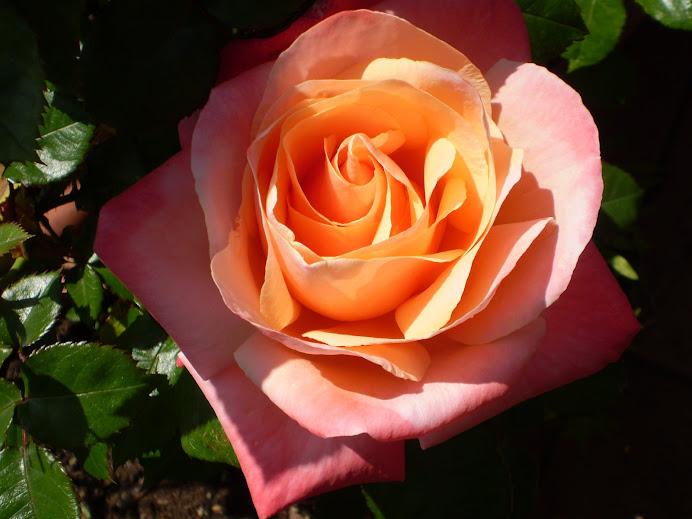 La Rosa Silver Jubilee
