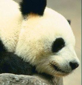 foto de oso panda dormido