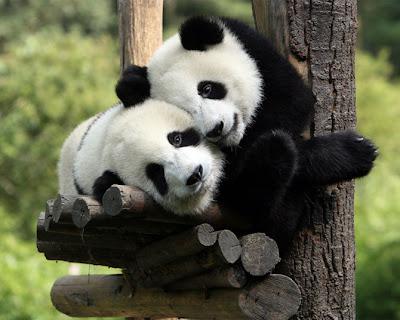 fotos de osos panda cariñosos 1