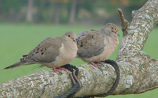 Ricky and Lucy, the Mourning Doves