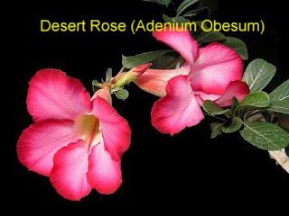 baby,babynme,parenting,desert rose,adenium obesum