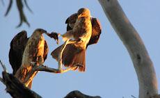 Whistling Kites squabbling