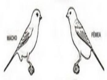 Diferenciação do sexo nos canários