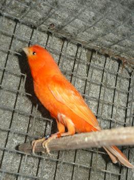 Canários de factor vermelho